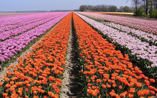 Dagtocht-Tulpen